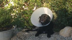 Perra lesionada en Peludos Residencia Canina y Felina