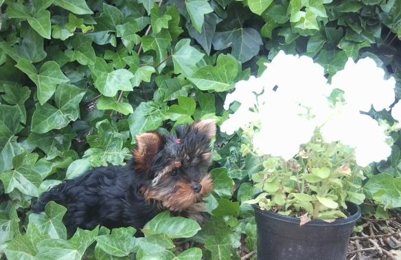 Perro Yorkshire en Peludos Residencia Canina y Felina