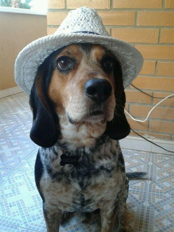 Perro con sombrero en Peludos Hotel Felino