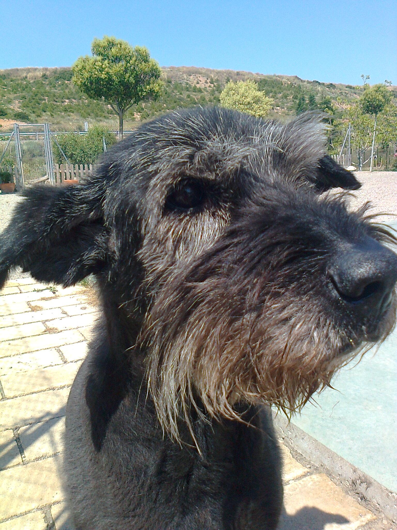 Perro Terrier ruso en Peludos Hotel Felino