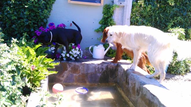 Perros disfrutando en el estanque de Peludos Residencia Canina y Felina