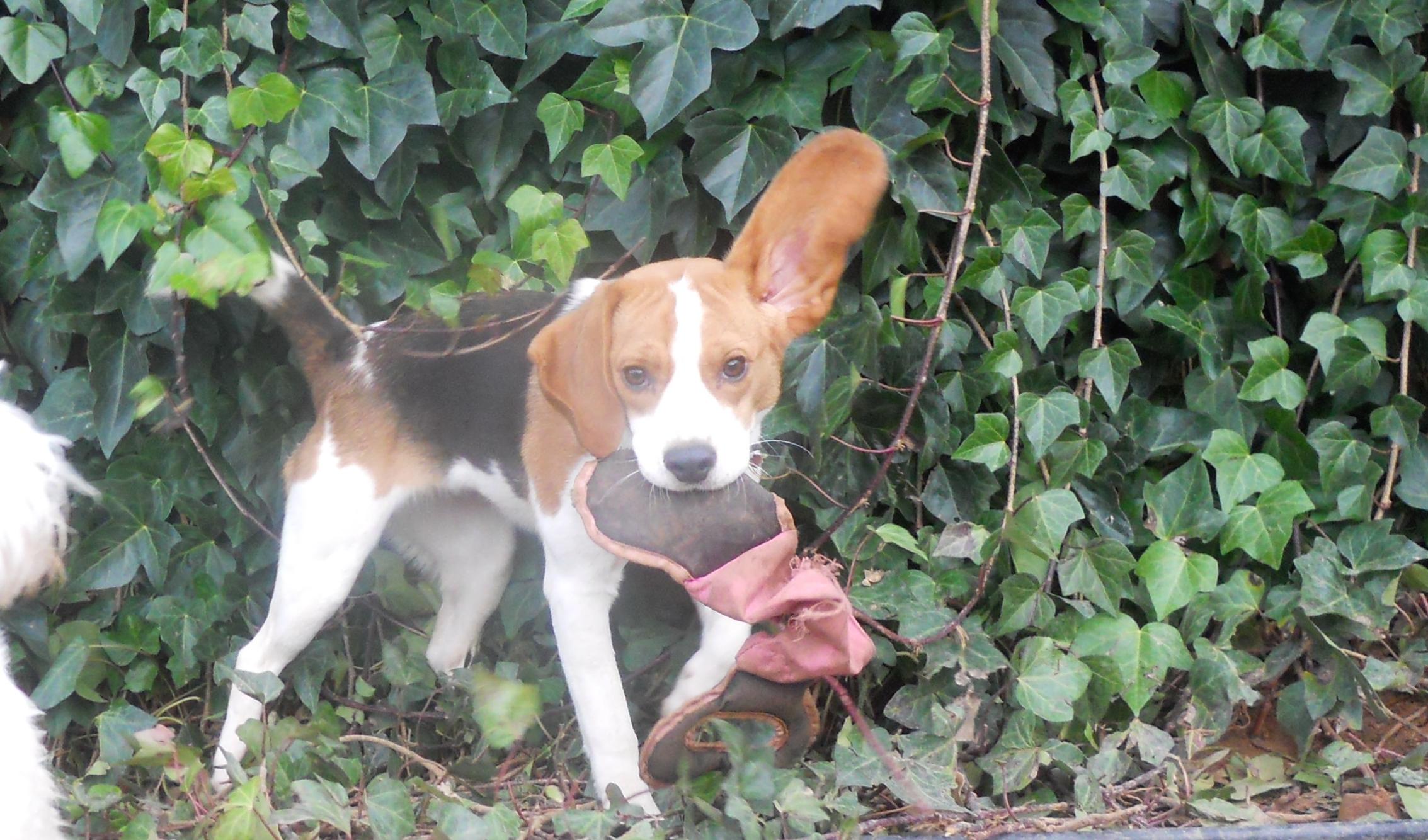 Beagle jugando en Peludos Residencia Canina y Felina